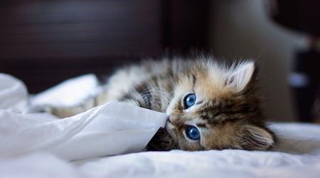ブルーの瞳が印象的なカワイイ子猫