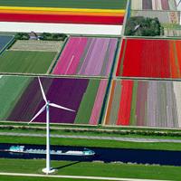 グラデーションが美しいオランダのチューリップ畑